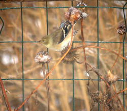 This Goldfinch, wearing his winter attire finds a nice treat of echinacea seeds.